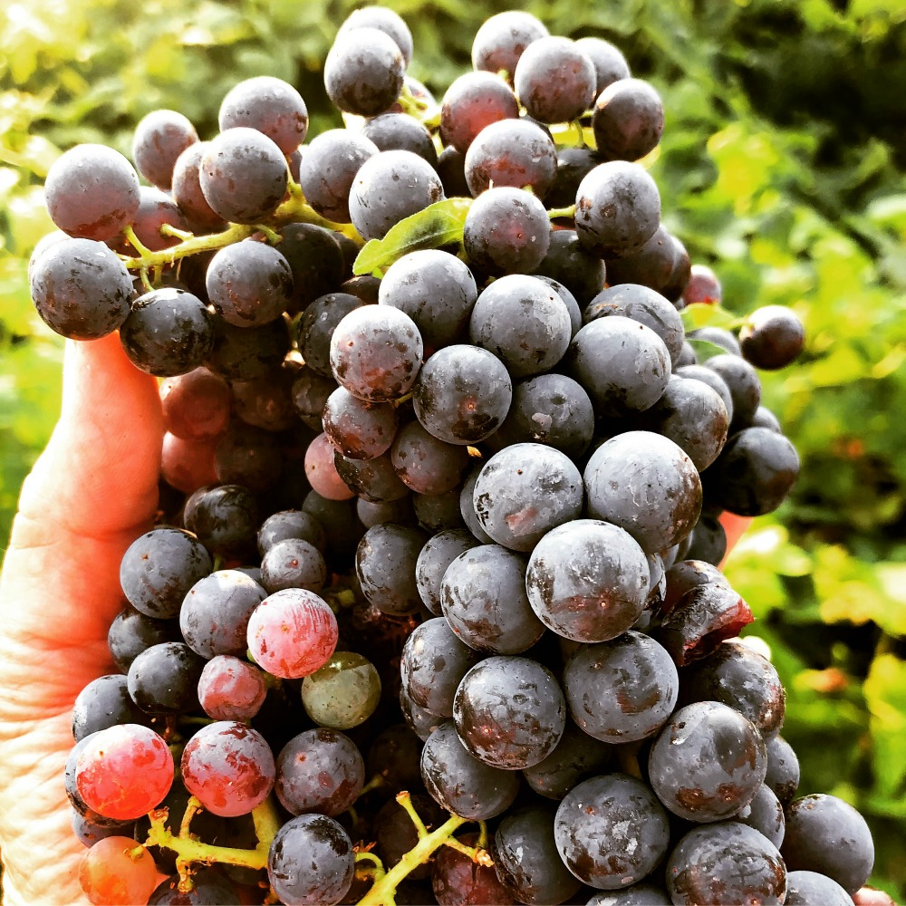 The wild yeast on these grapes is very evident---probably because of the darker color of the fruit. This is what helps the fermentation process and makes it so you don't need to add yeast to make your own homemade vinegar!