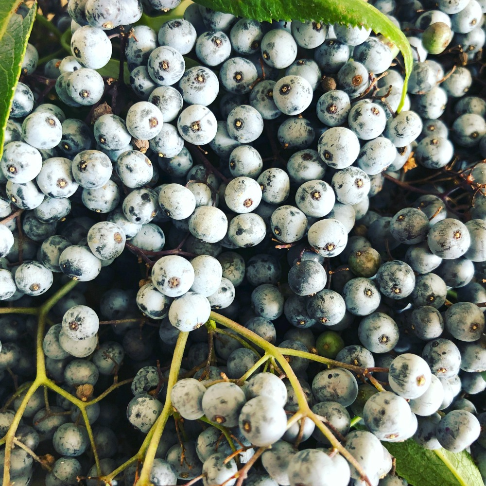Here are some Blue Elderberries. The whitish powder on the surface is actually wild yeast, and will be helpful later on in making fermented products. But for the syrup, it's not needed. These will get a good rinse! The berries grow in clusters.