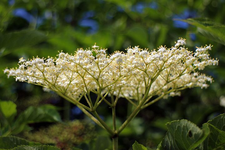 Elder flowers grow in clusters. The tiny white or cream colored flowers form an umbrel (umbrella shape) and have a lovely scent.