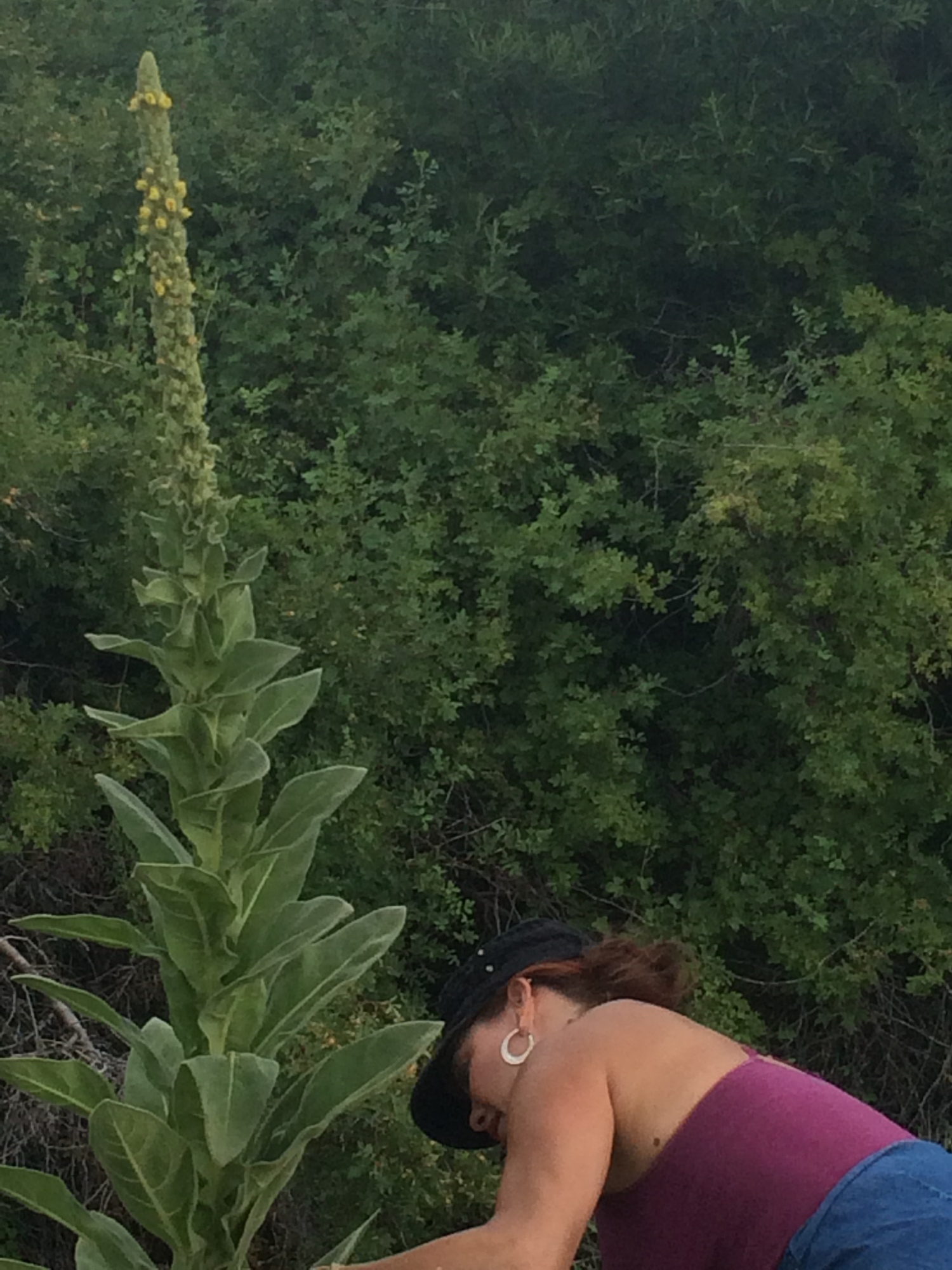Here, I'm harvesting some mullein from a nearby stream bed. But you can purchase dried mullein in bulk from  Starwest Botanicals  (plus all your other herbal and culinary spice needs) if you don't want to go out and find your own.