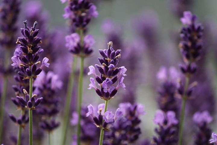 Who can dispute the beauty of lavender?