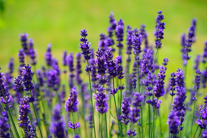 Lavender is one of the best herbs to start using.
