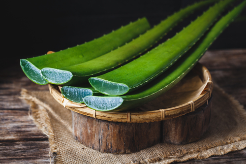 The fleshy leaves of the aloe plant contain sacs that hold the gel and liquid that is so medicinally useful. This plant was known as the plant of immortality in the days of Ancient Egypt!