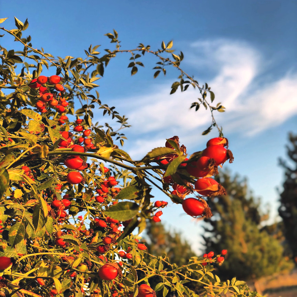 Here are some of the rose hips that grow on our property. They are profuse up in these Idaho mountains.