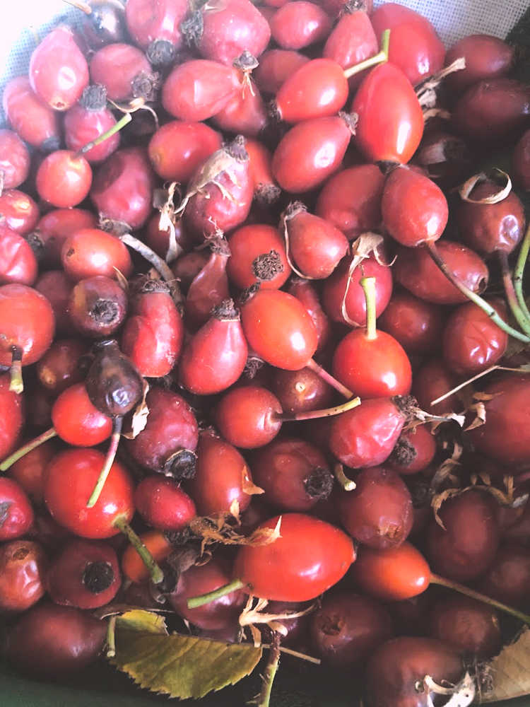 Fresh rose hips. We've had a few freezes, so some are a bit wrinkled. This doesn't hurt the quality. In fact a good freeze or several makes for less sour rose hips!