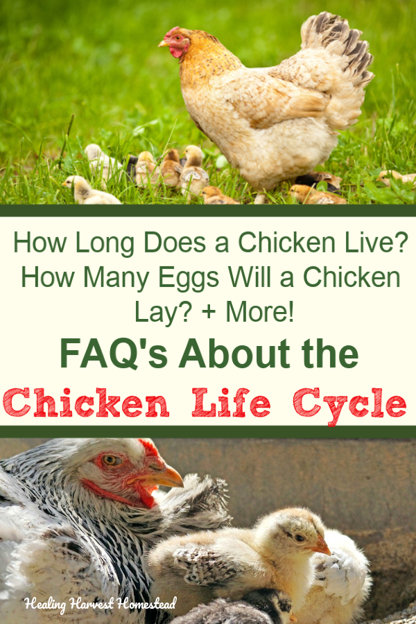 Are you thinking about getting some backyard chickens this Spring? Here are the answers to your chicken questions, like how long does a chicken live? What is molting? How to keep chickens healthy? How many eggs will they lay? And LOTS more interesting facts about a chicken's life. Learn all about the chicken life cycle. #healingharvesthomestead #chickens #chickenlife #lifecycle #chickenegg #molting