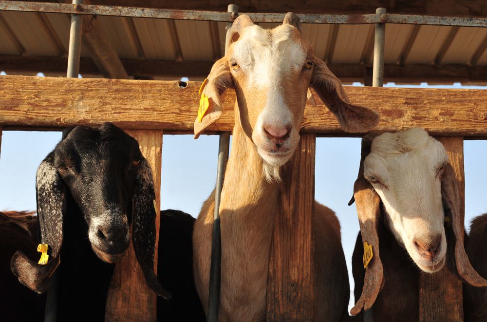 Raising goats for milk & meat is a way to be self-reliant, and you don't need that much space, either.