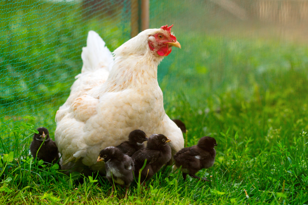 Nothing beats your very own farm fresh eggs raised in your own backyard!