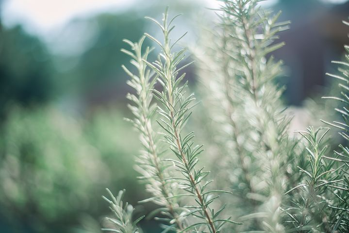 Rosemary is an aromatic herb, and when the essential oils are distilled from the plant, you have some powerfully stimulating solutions for a variety of skin (and hair) issues.