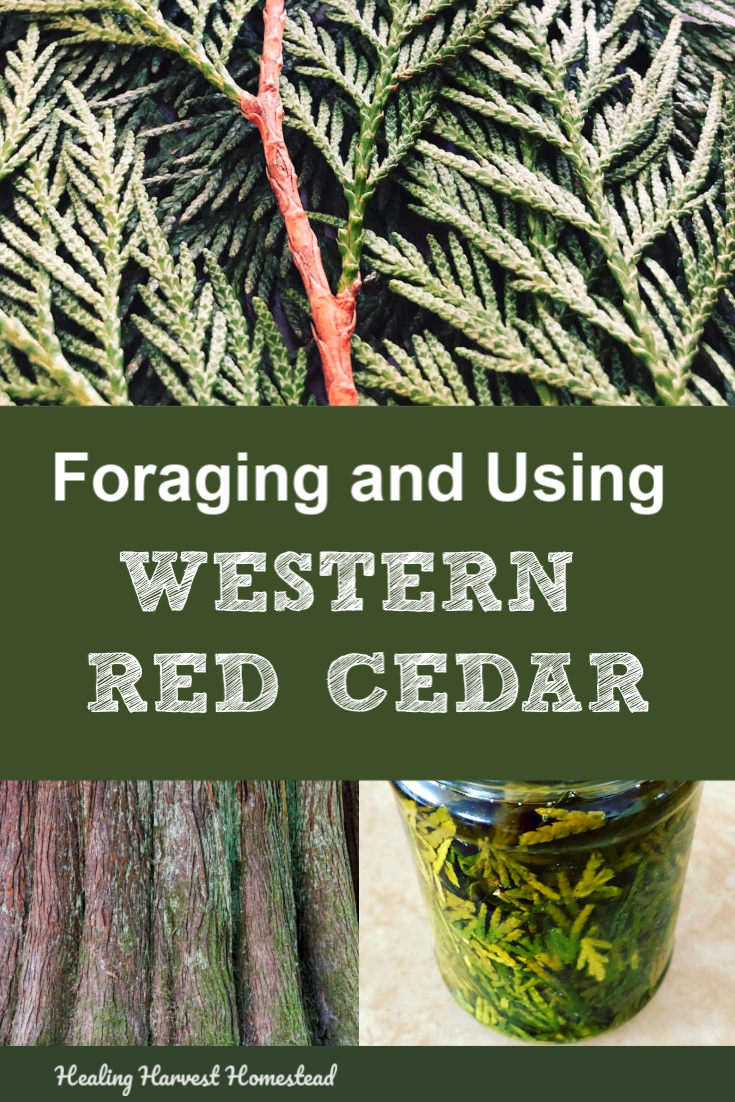 Find out how to forage and use western red cedar (Thuja plicata) for its medicinal uses. This beautiful forest giant tree has so many great uses, and you can find out how to use the leaves, bark, and more! #forage #medicinal #plantmedicine #western #red #cedar #tree #foraging #healingharvesthomestead