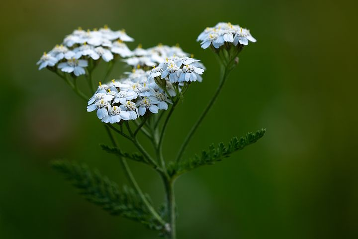 "Yarrow is one of the best known plants for making poultices from. It was nicknamed the ""Battlefield Flower"" during Civil War times, as it was so useful for stopping bleeding from wounds."