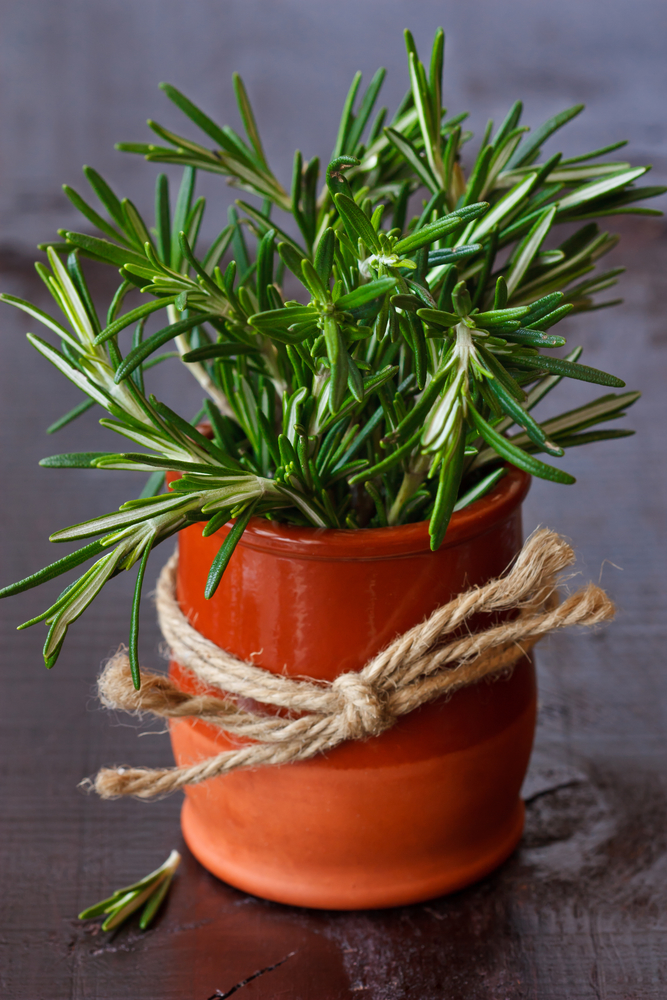 You can  grow rosemary indoors , too!