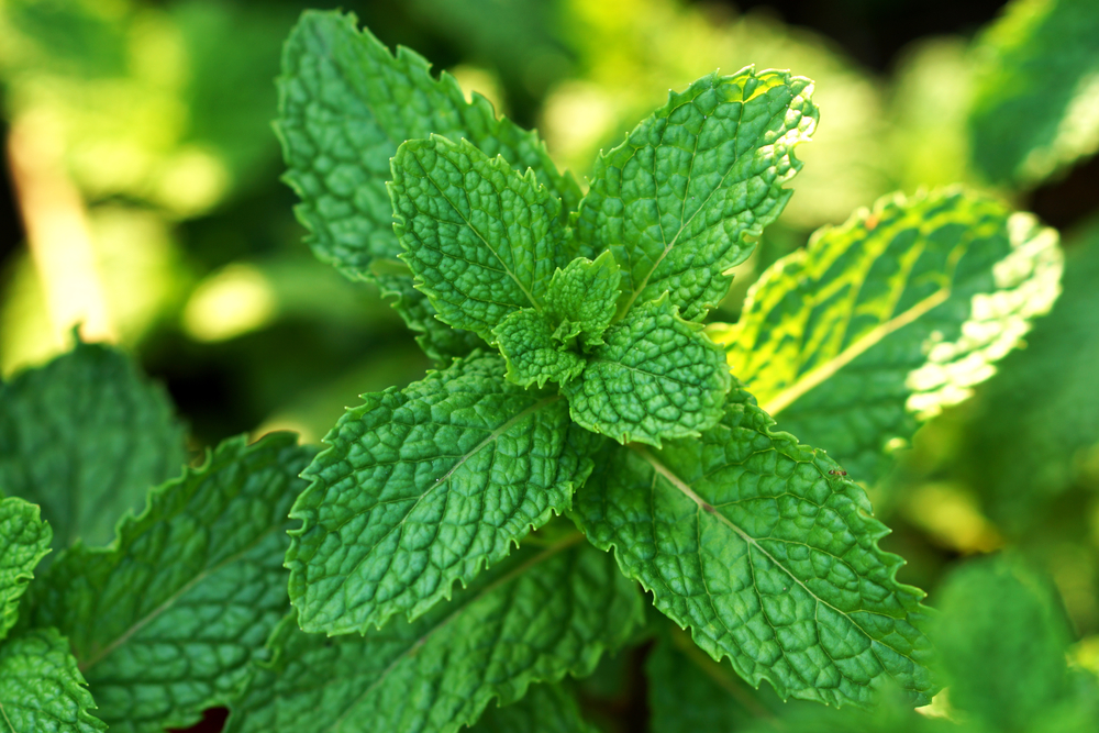 (Mentha spicata ), commonly known as Spearmint is a softer, sweeter version of peppermint. But don't let it's pleasant flavor fool you! It's jam-packed with nutritious constituents.