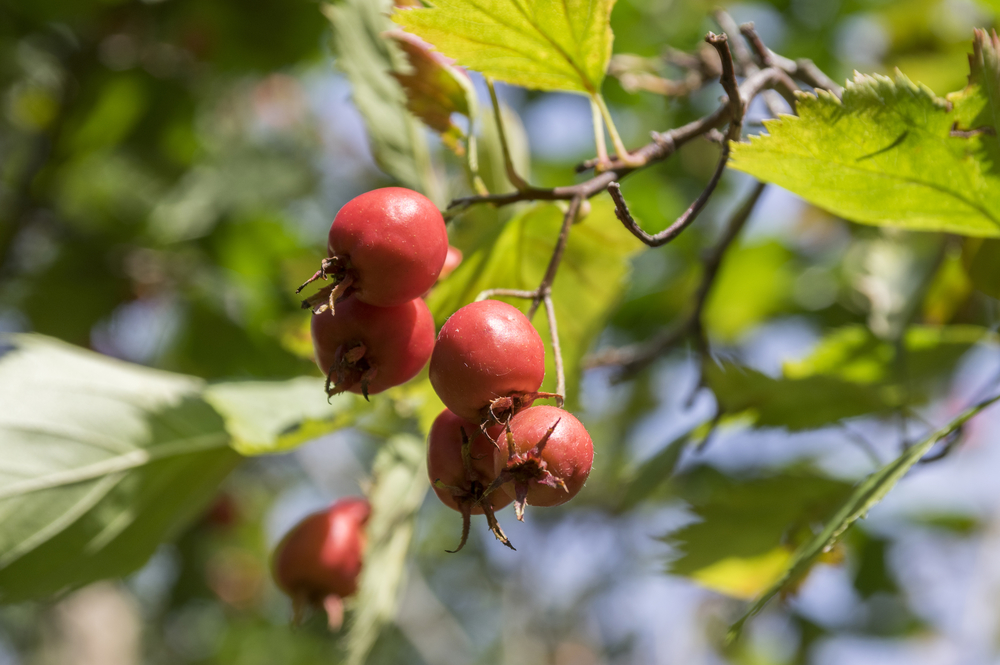 Hawthorn Berries are one of the most useful herbs for supporting your heart health.