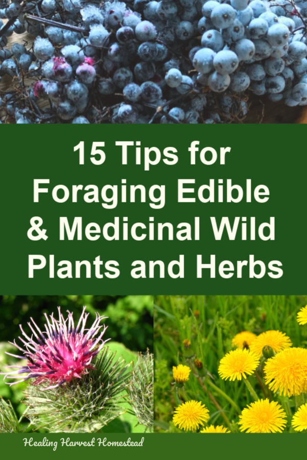 Find out the best tips for foraging wild and edible herbs and plants. Wild crafting plants for medicine making is great fun, but you need to have a basic foundation about foraging. Learn how to forage or wild harvest edible and medicinal plants from the wilderness safely and successfully. #healingharvesthomestead #forage #foraging #wildharvesting #harvest #edibleplants #medicinalplants #wildcraft #safe #safely #tips #howto #forageplants #eatyourweeds