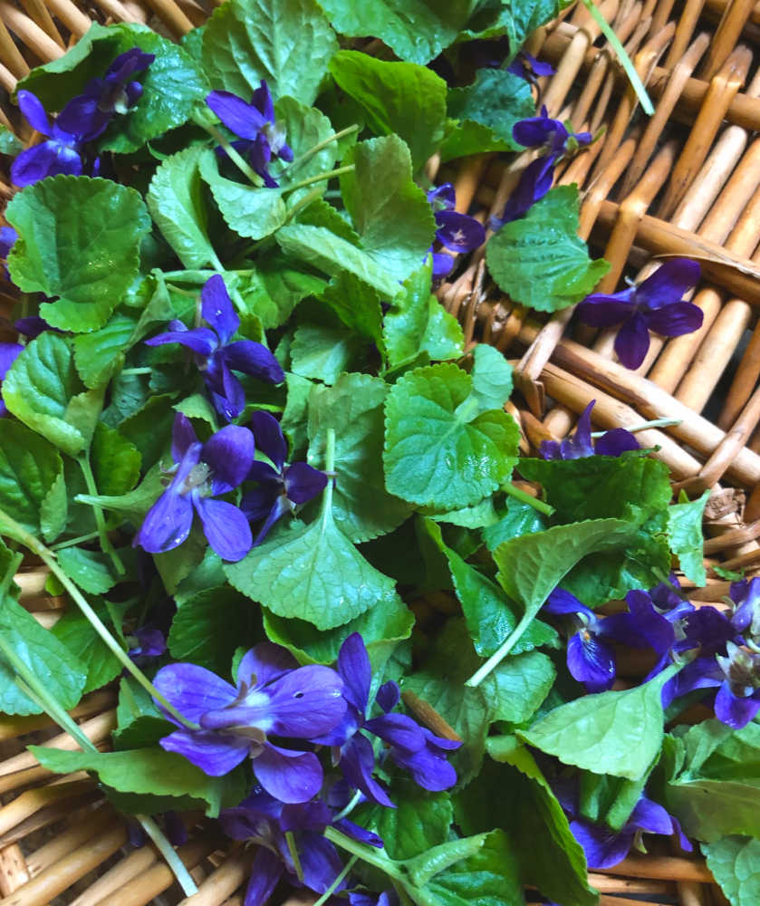 Wild violet flowers and leaves I foraged this early spring.