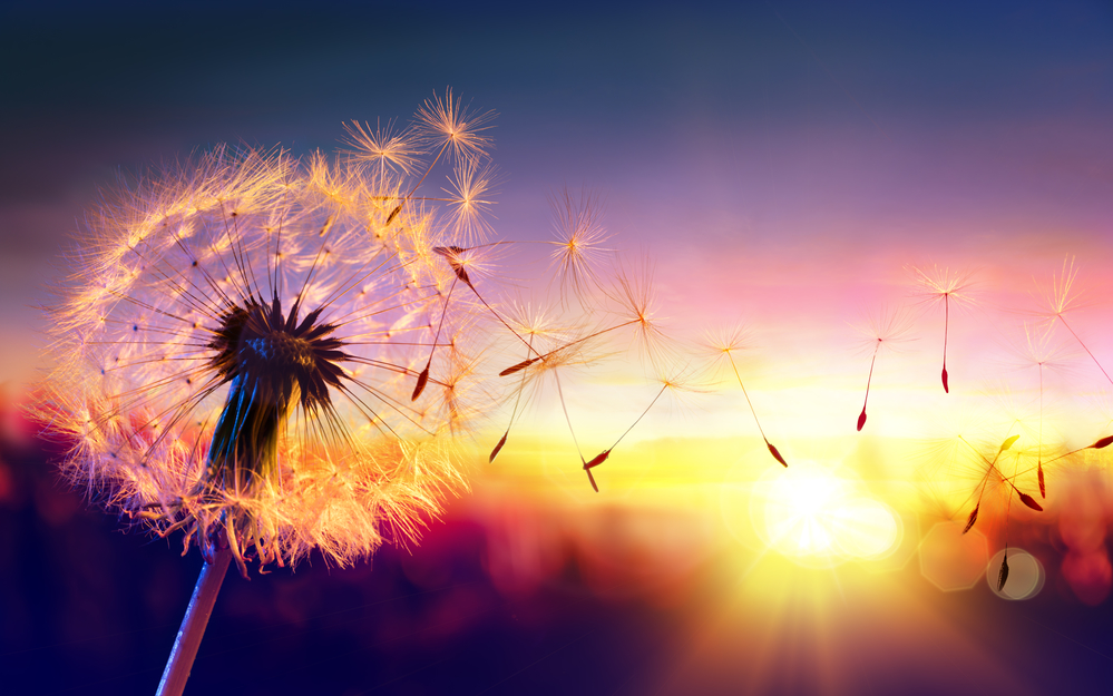 Dandelion seeds are ethereal, great for making a wish!
