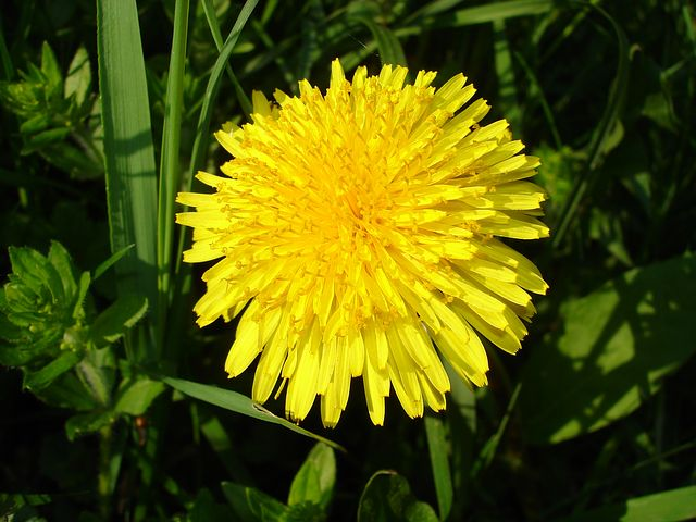 The dandelion flower is really a composite flower made of hundreds of smaller flowers, or florets.