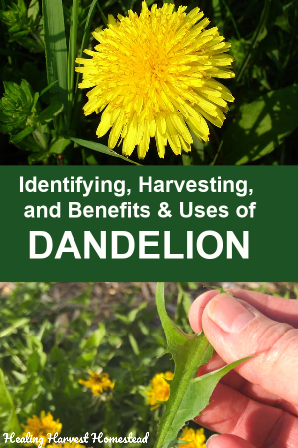 Foraging for dandelion means you have to know how to identify it properly. Find out how to forage, harvest, and use dandelion! All the parts of this amazing edible and medicinal herb are useful. #foraging #harvesting #identifying #dandelion #benefits #uses #howtomake #plantmedicine #herbalism #healingharvesthomestead