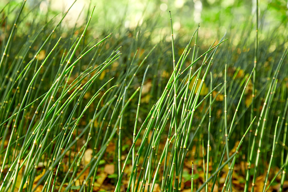 Horsetail grows in wet, marshy places.