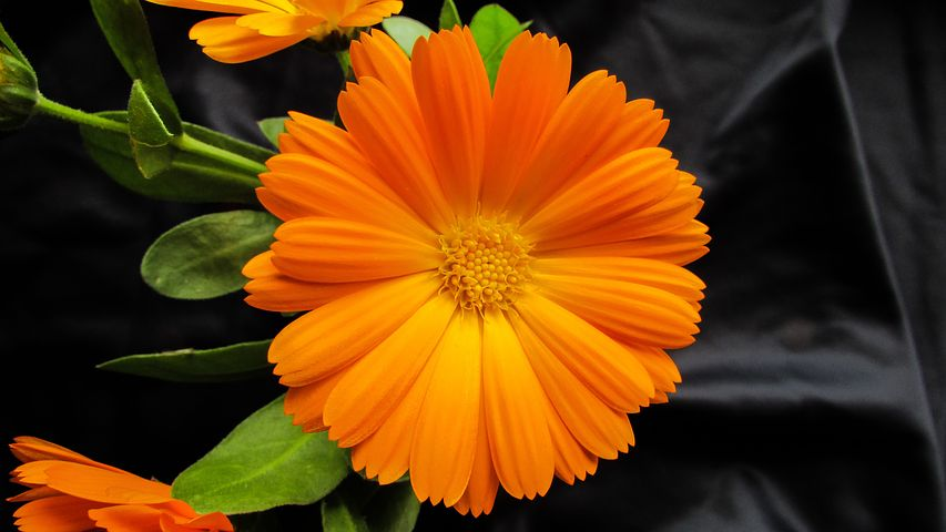 Calendula ( Calendula officinalis ) is a well-known herb for the skin and prized for its emollient actions.