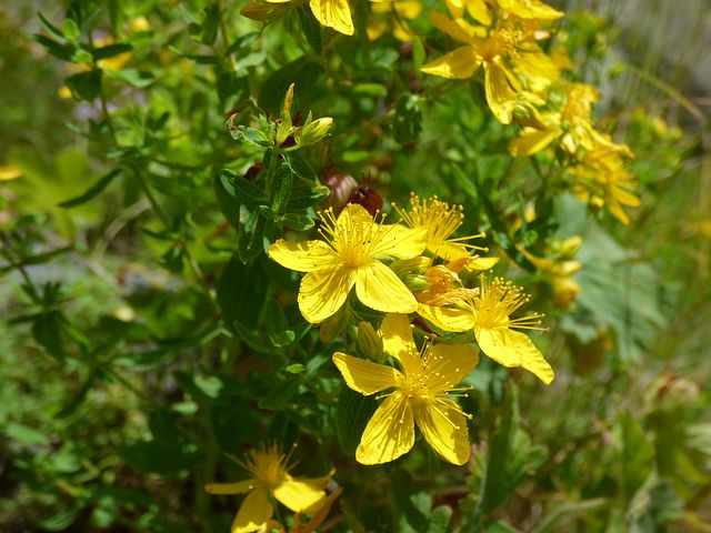 St. John's wort ( Hypericum perforatum ) is anti-depressive, and it is also a vulnerary herb—-terrifically healing on the skin for wounds and burns.