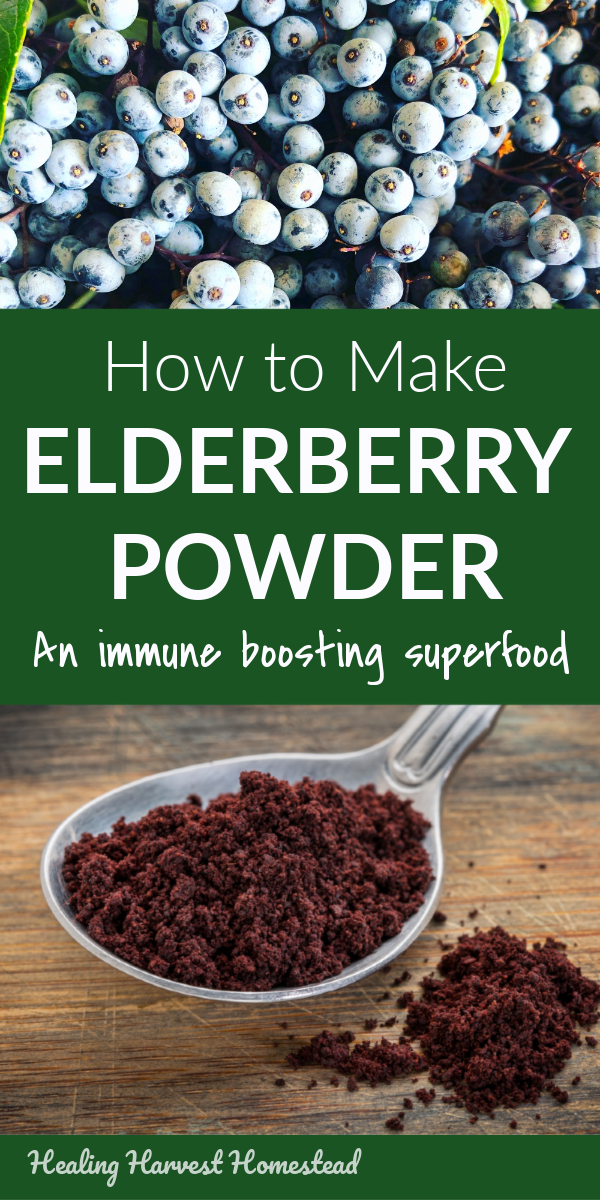 What can you do with your elderberry harvest besides making jam? LOTS! One of the things you can make is homemade elderberry powder. This powder stores beautifully for long-term storage, and it can be used to make other elderberry preparations like syrup, oxymels, cordials, and lots more. You can also sprinkle it on smoothies, oatmeal, and other things! Find out how to make elderberry powder! #elderberry #powder #cold #flu #getridof #howtouse #howtomake #homemade #forage #healingharvesthomestead