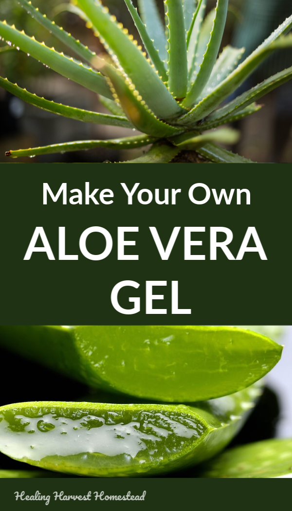 Do you know it's super easy to make your own aloe vera gel? All you need is a healthy and mature aloe plant. Here are the instructions for how to make your own aloe gel, facts about aloe vera, how to grow an aloe plant, and benefits and uses of aloe vera! #aloe #aloegel #howtogrow #benefitsof #usesof #howtomake #aloevera #healingharvesthomestead