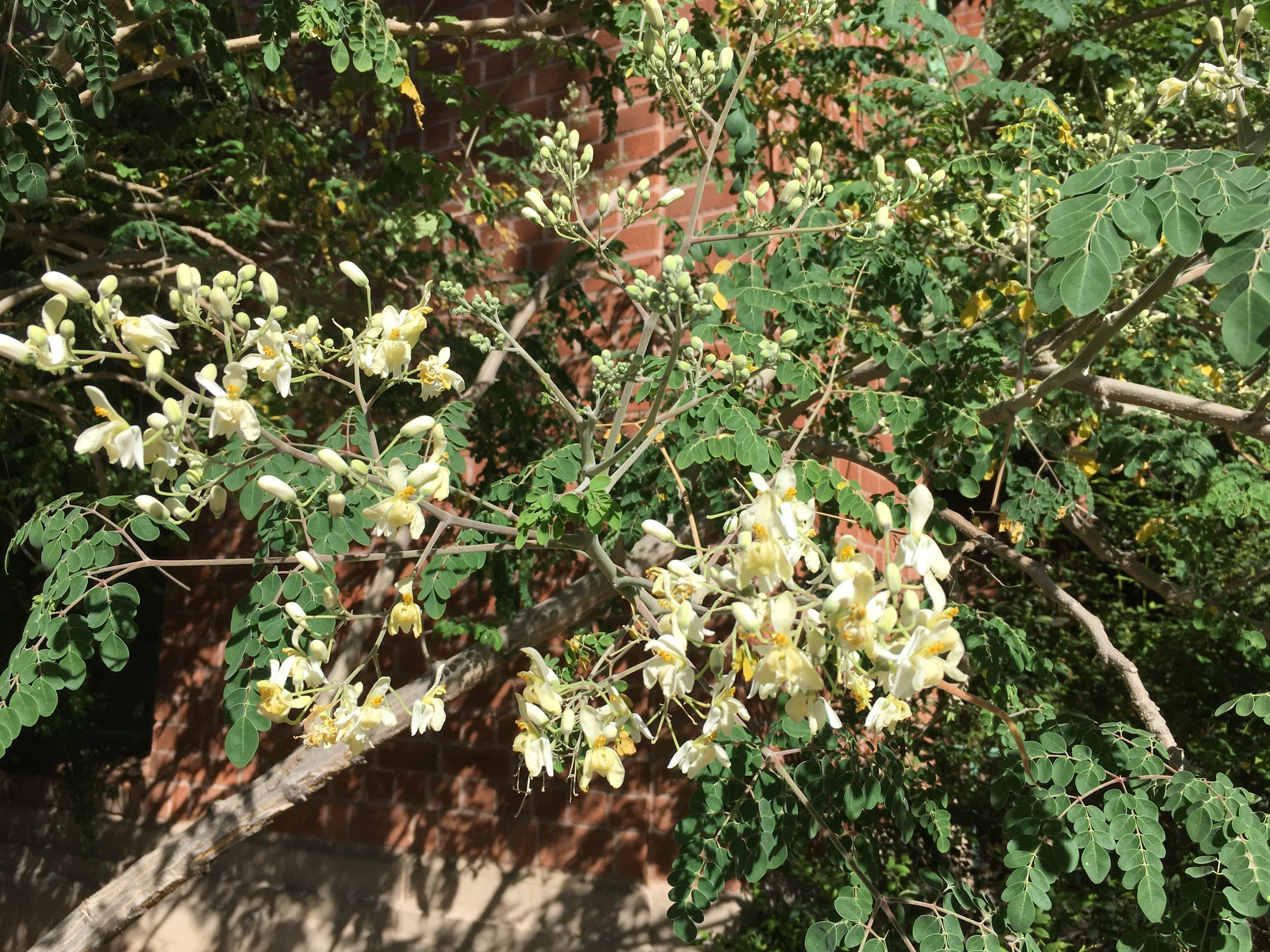 The horseradish tree, a native of India, is almost completely edible, the UA aboretum says. That includes the leaves, flowers, seeds and roots. There are several specimens on campus and in bloom now.  By the way, the UA  arboretum  web site is terrific. You can find lots of information about the plants on campus and a map of where they are. You can sign up for plant tours. Or you can access a mobile self-guided tour.