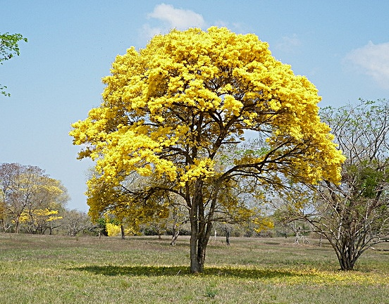 GUAYACON TREE IN ARGENTINA    Guayacona wood or 'Lignum vitae wood' when translated from Spanish means 'Tree of Life' or 'Holy Wood'. Within the wood industries it is also referred to as 'Ironwood' because its density. 'Guay wood' has moisture barrier properties and is among one of the hardest of woods products around the world, it is especially well suited for handmade knife handles.