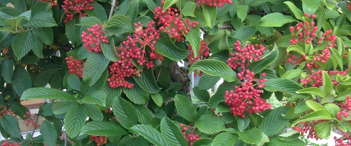 redberriesgarden.jpg