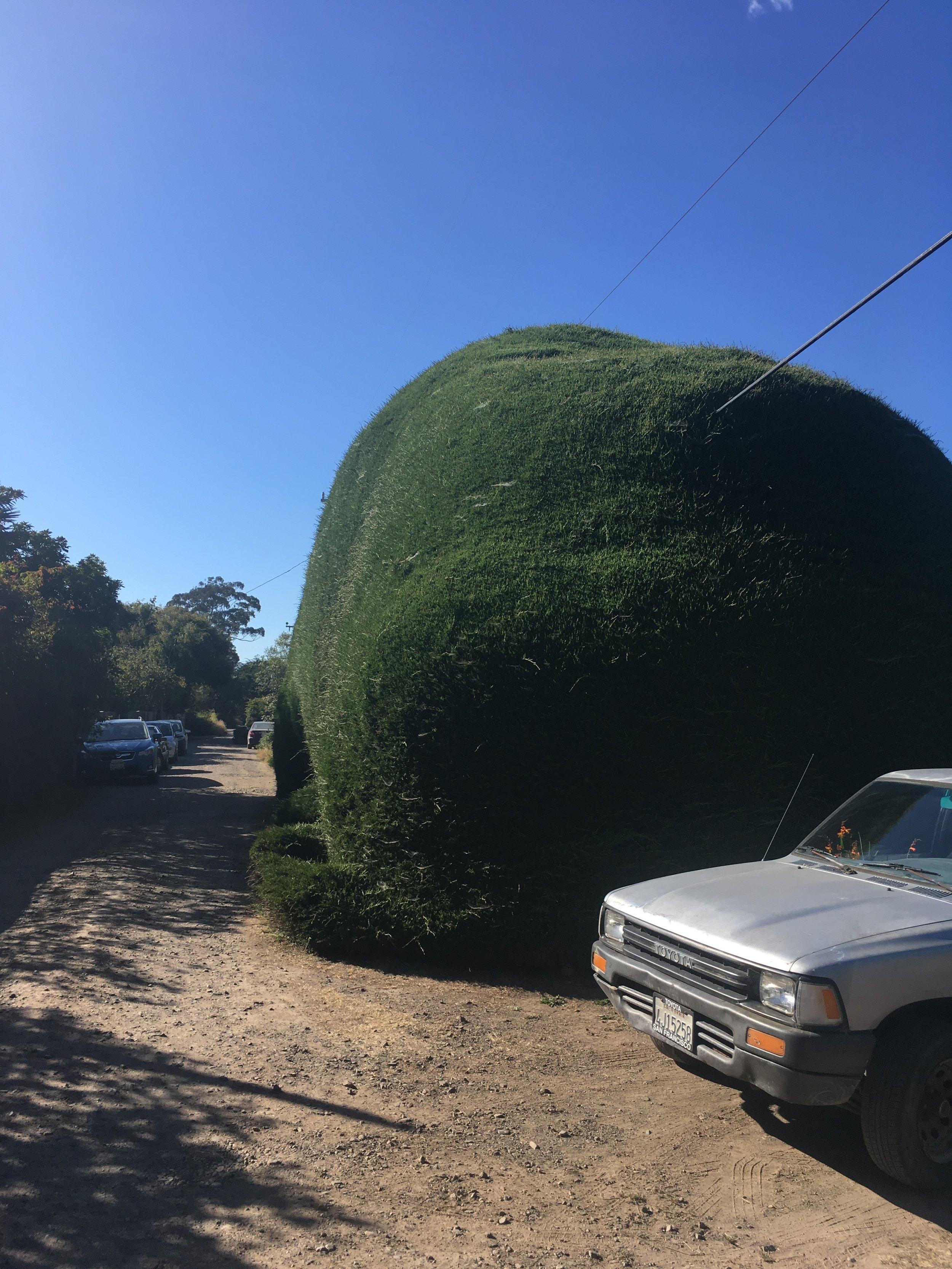 Manatee Bush Evergreen Street.jpg