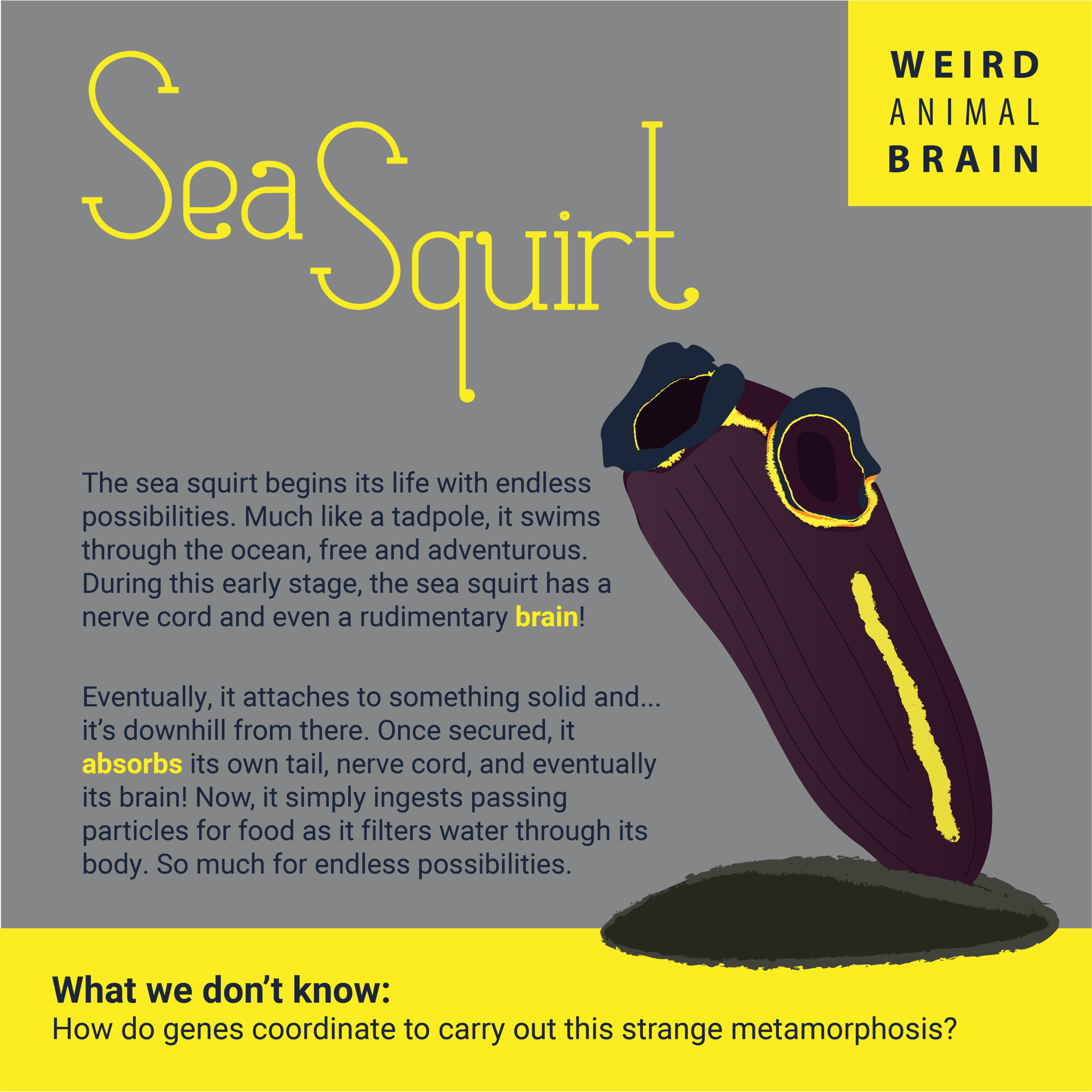 SeaSquirt-New-01.png