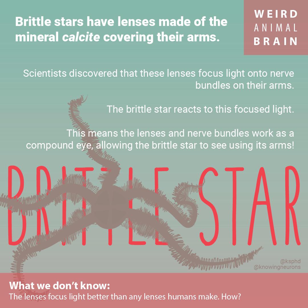 BrittleStar-01.png