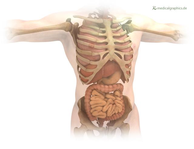 torso-organs.jpg
