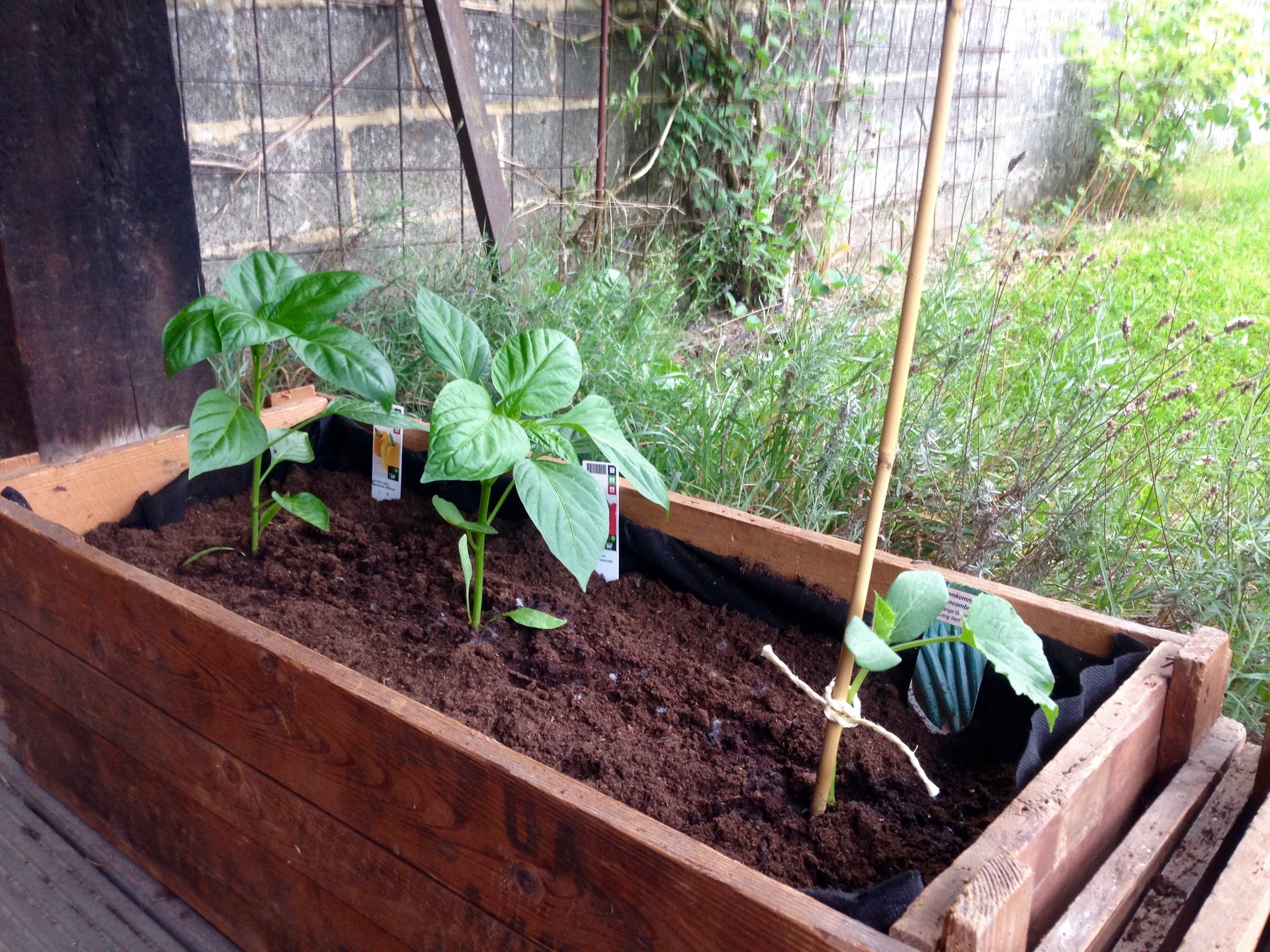 Red & yellow peppers plus cucumber planted in old, inherited wooden containers.