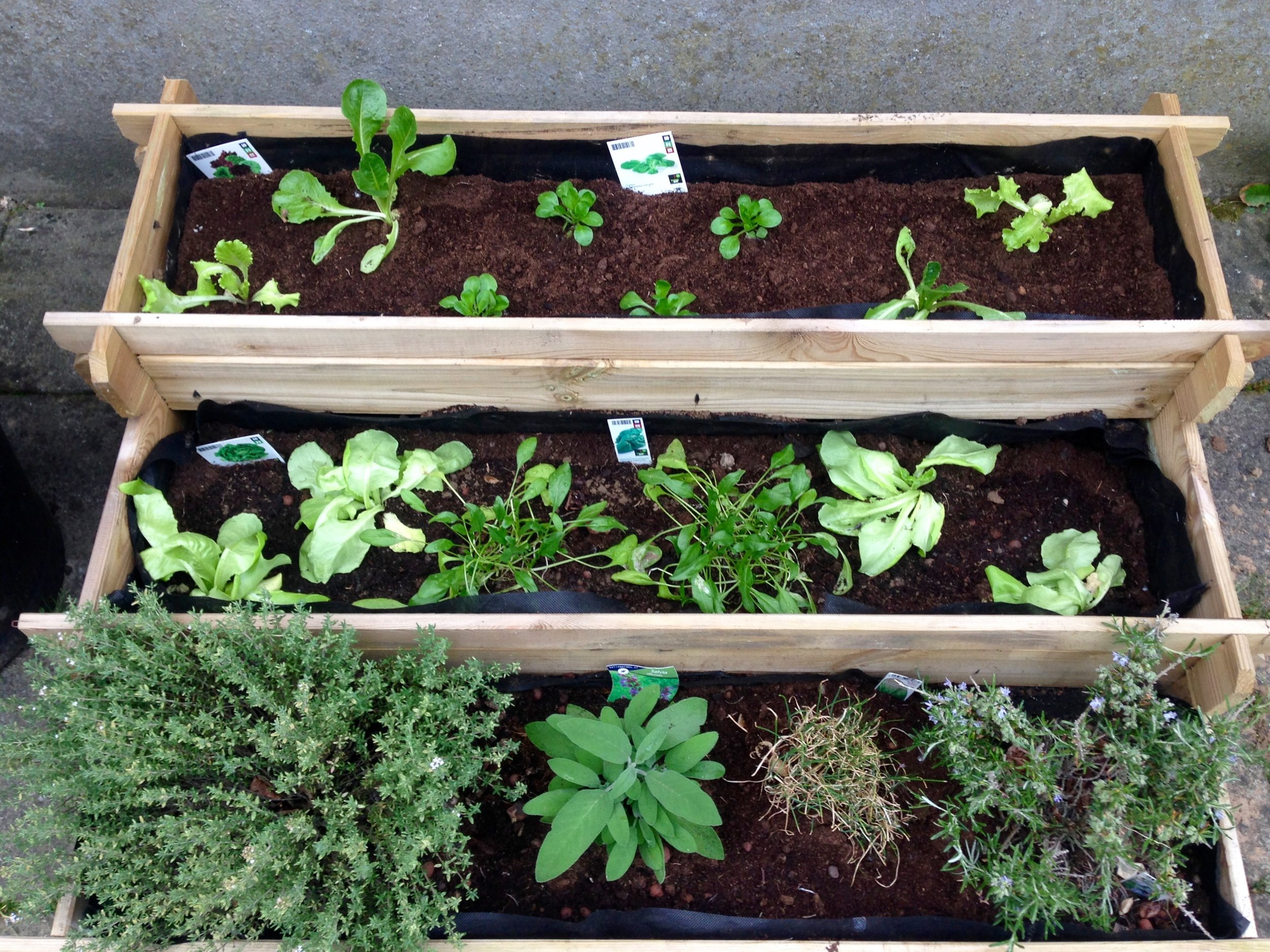 Several types of lettuce, spinach, and some assorted herbs (thyme, sage, chives, & rosemary)