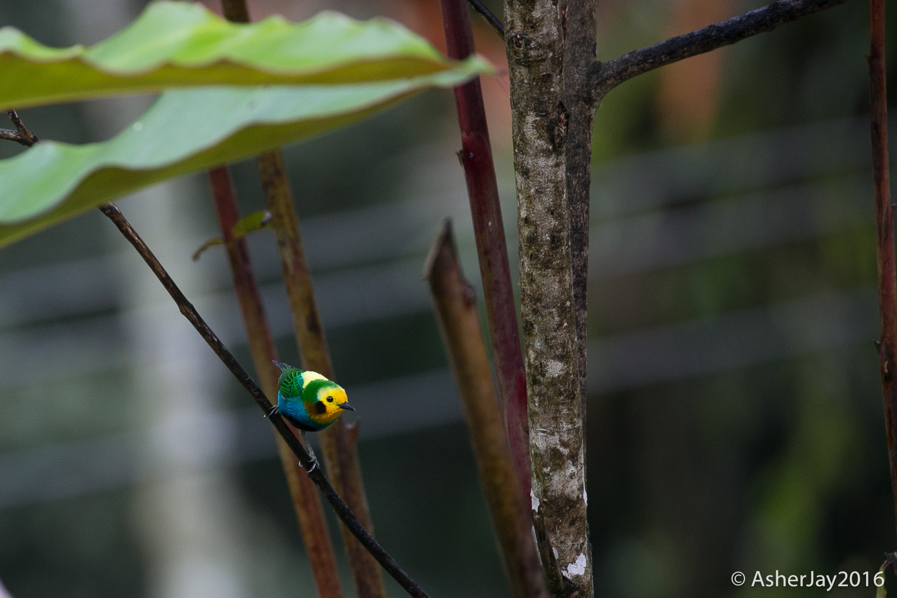 A Multicolored Tanager, essentially an impressionist painting on the move.