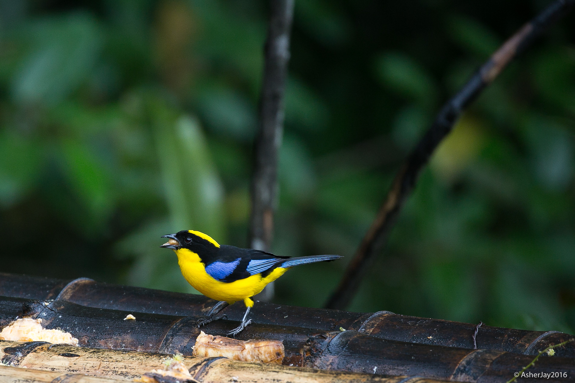 Blue-mountain Tanager, eating fruit on a feeder in someone's private backyard. Many Colombians have begun to opt out of profiting myopically from the trade in live birds, instead they put up feeders and lure eager birders and ecotourists, who would rather take photographs than cage a wild bird.
