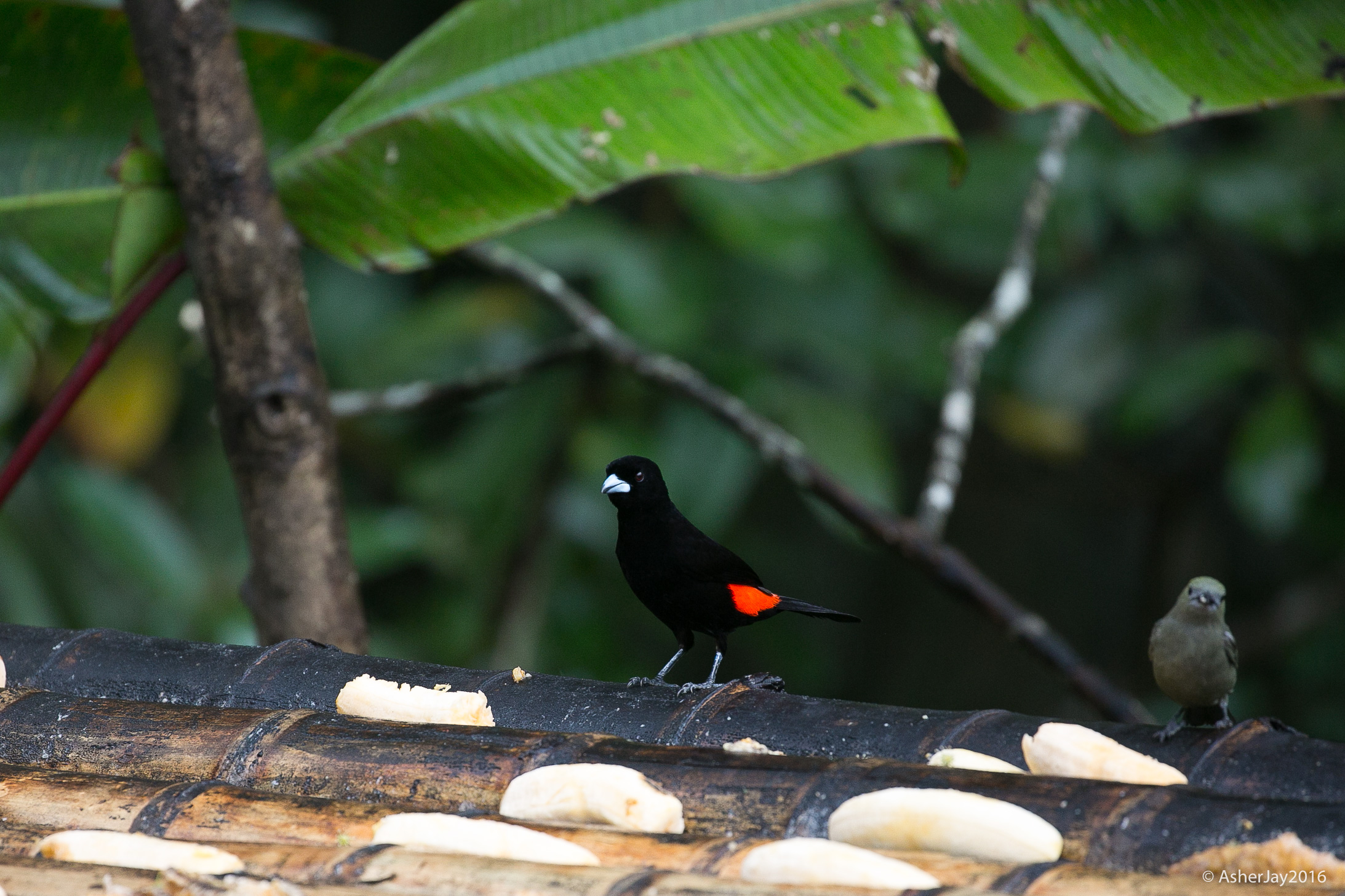 Flame-rumped Tanager male, with a conspicuous orange, visibly brilliant hot ass, perched on a banana laden feeder.