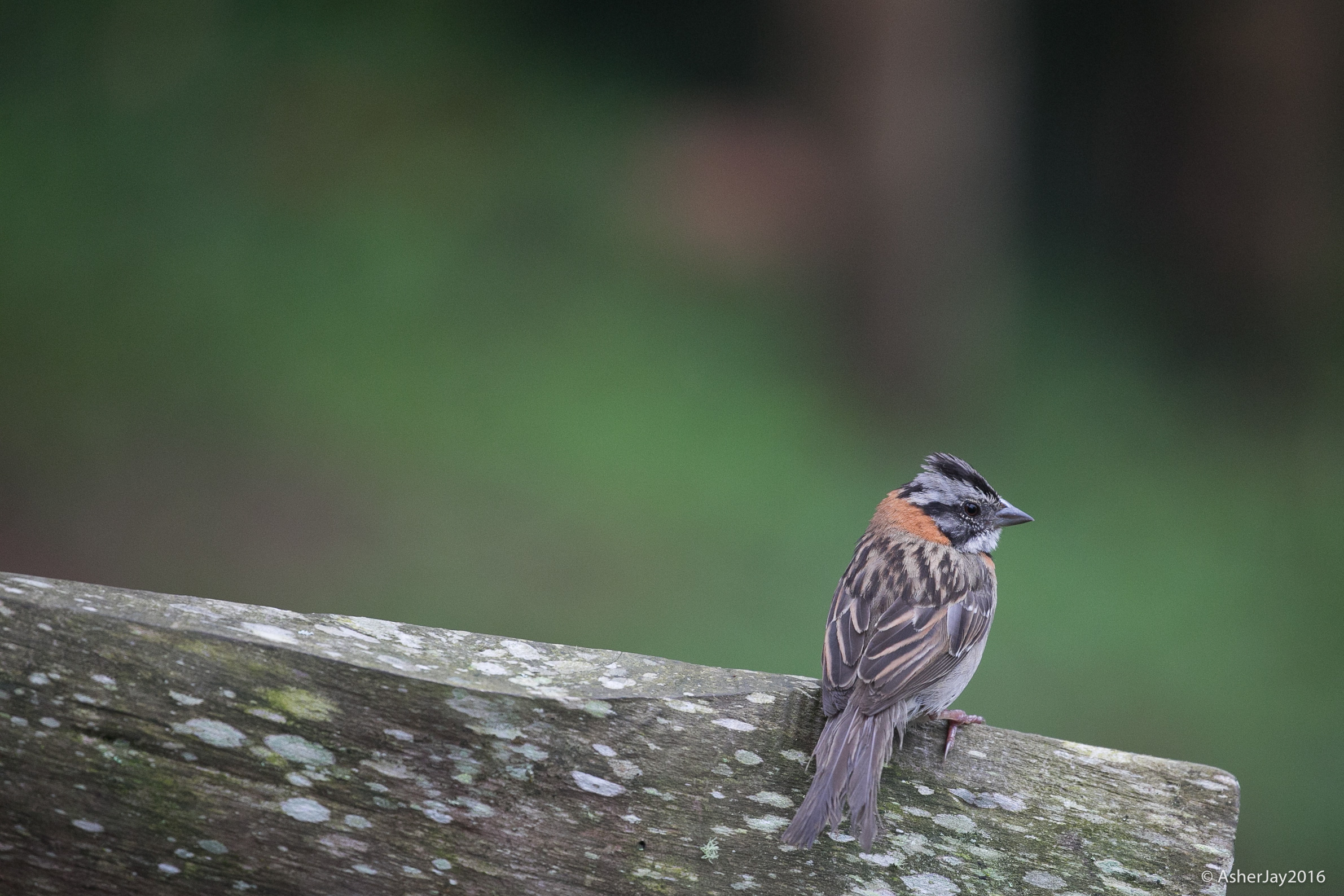 Rufous-collared Sparrow. Something known, now for something new, something burrowed, and something blue.