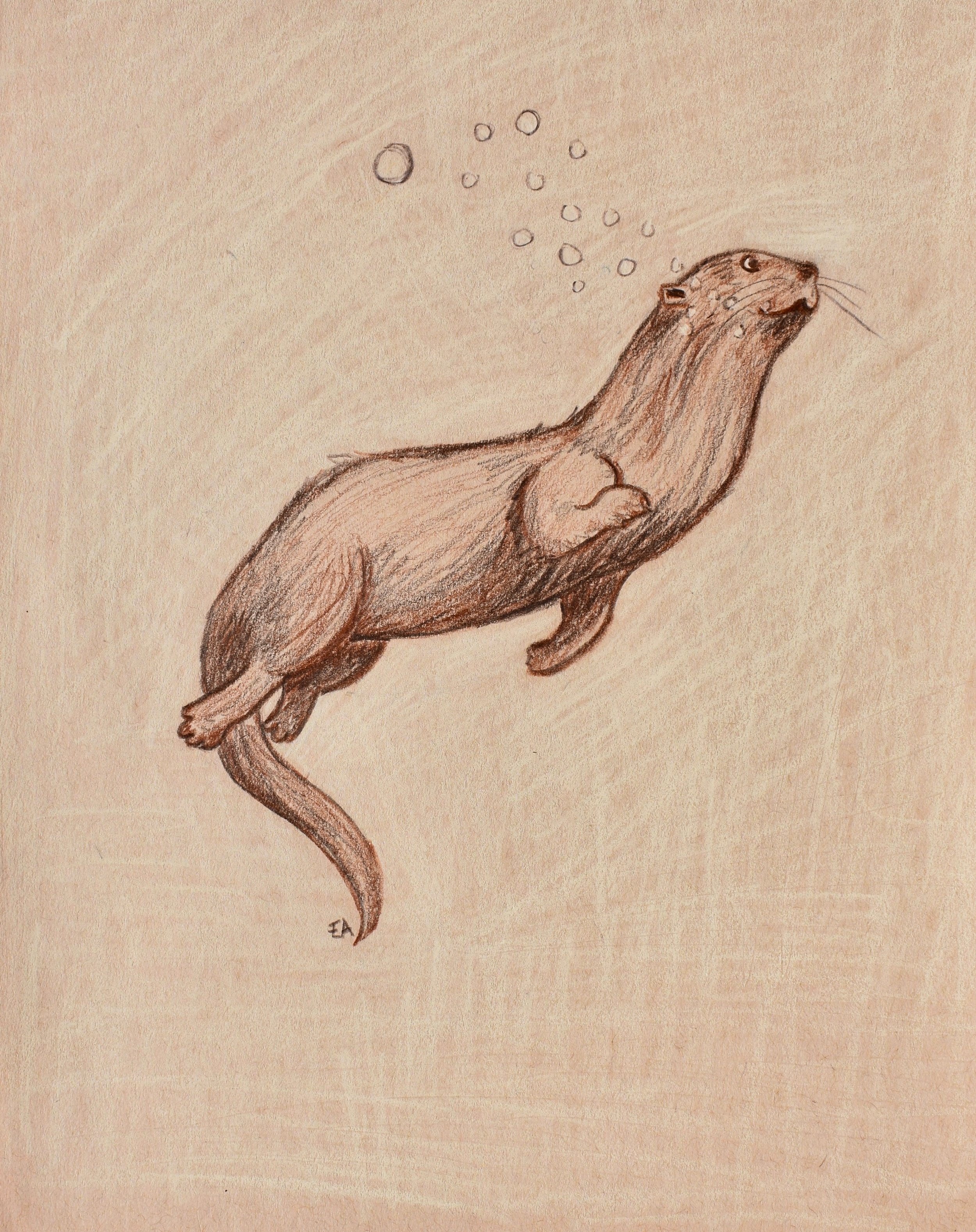 """""""River Otter"""" 8x10 Polychromos Pencil on toned paper. SOLD."""