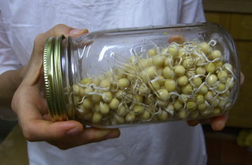Repeat rinse every 12 hrs. The sprouts will be ready to eat when you see them!.jpg