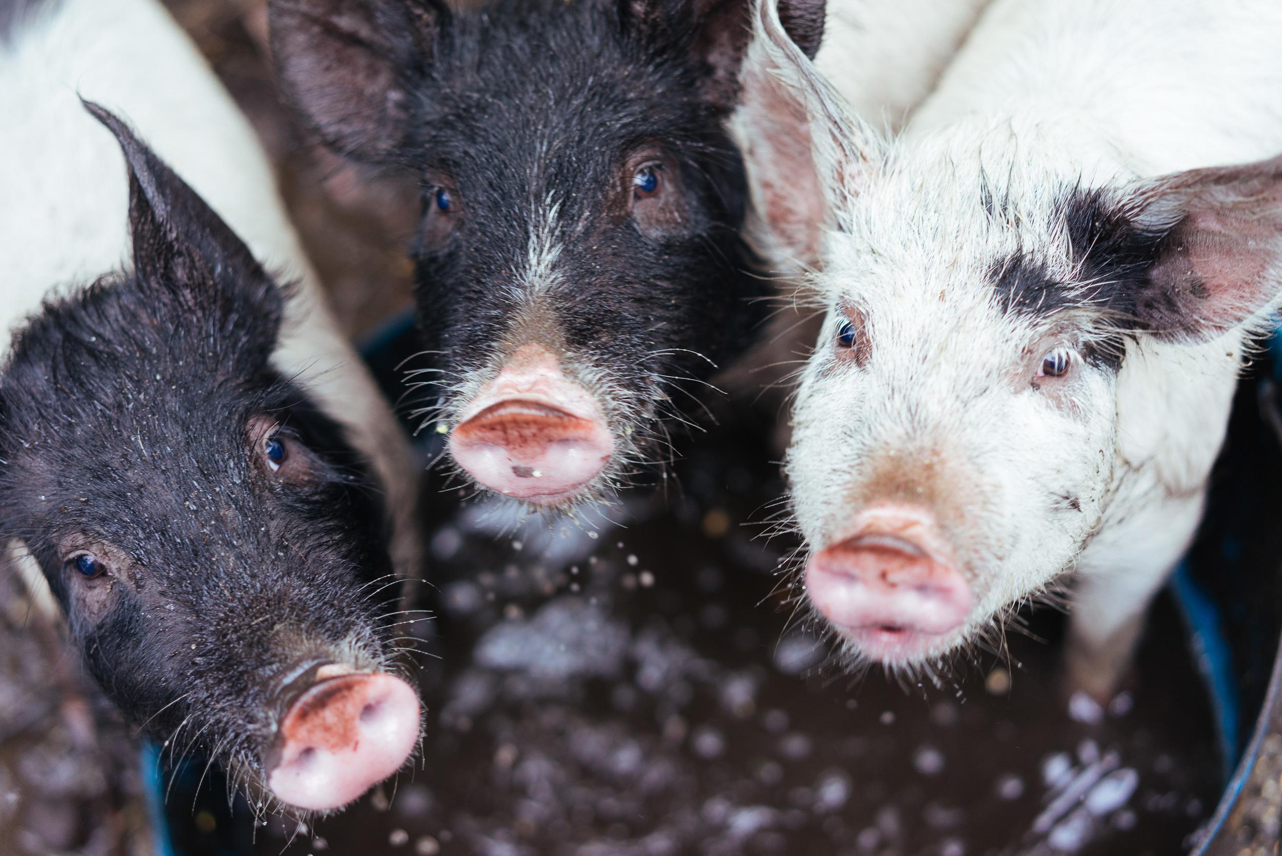 Pigs in the vineyard Margaret River