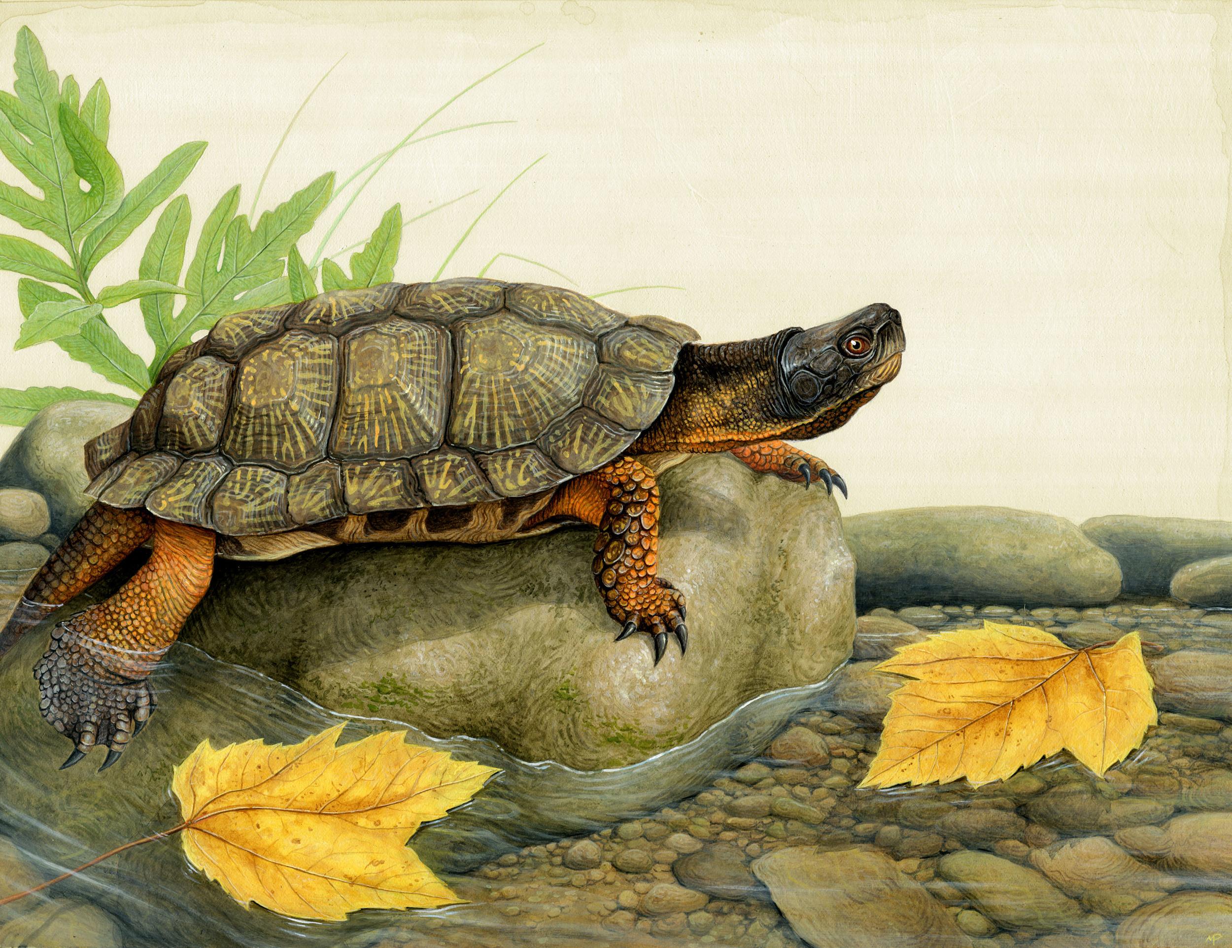 Basking Wood Turtle
