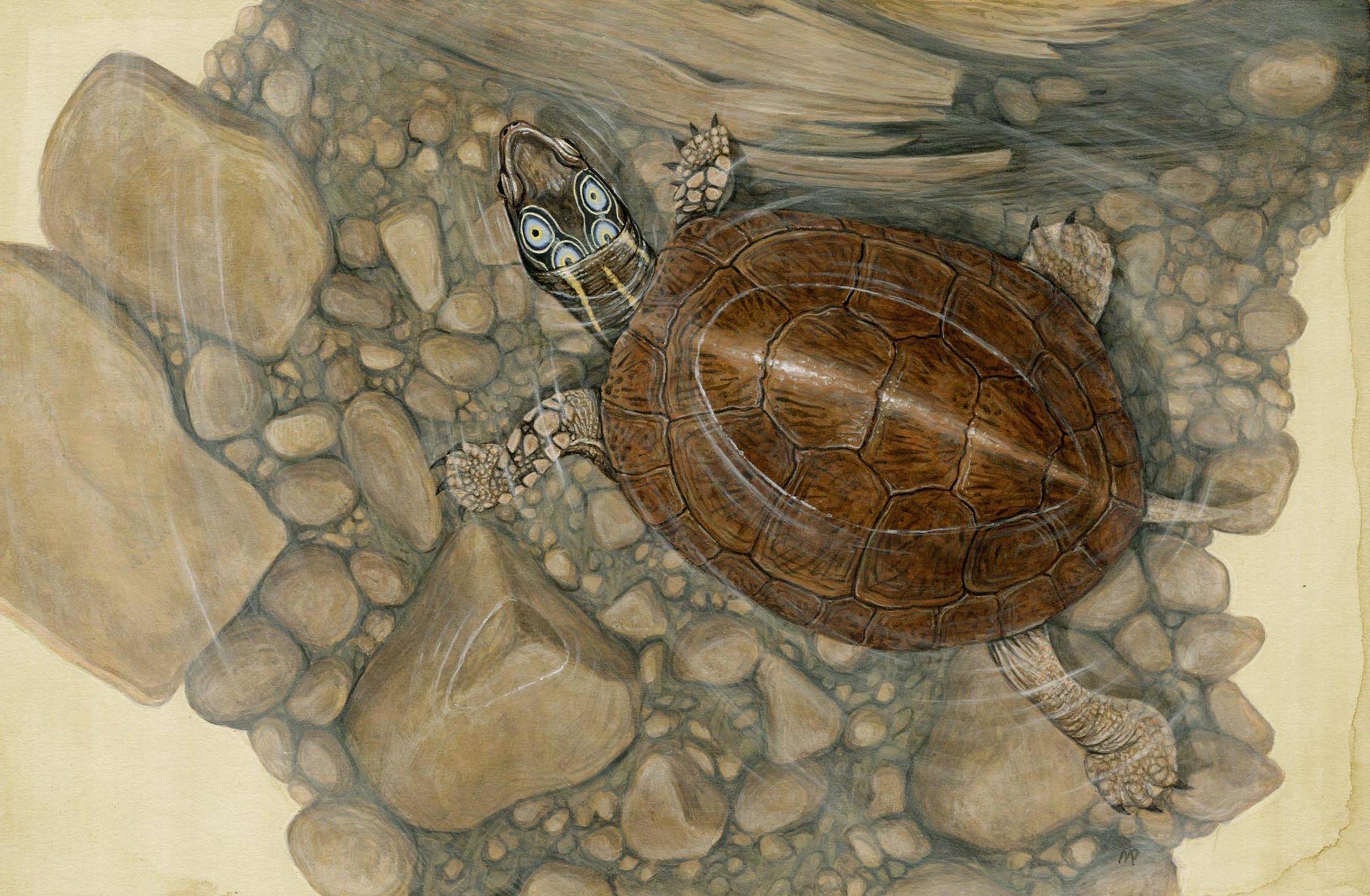 Foure-eyed Turtle