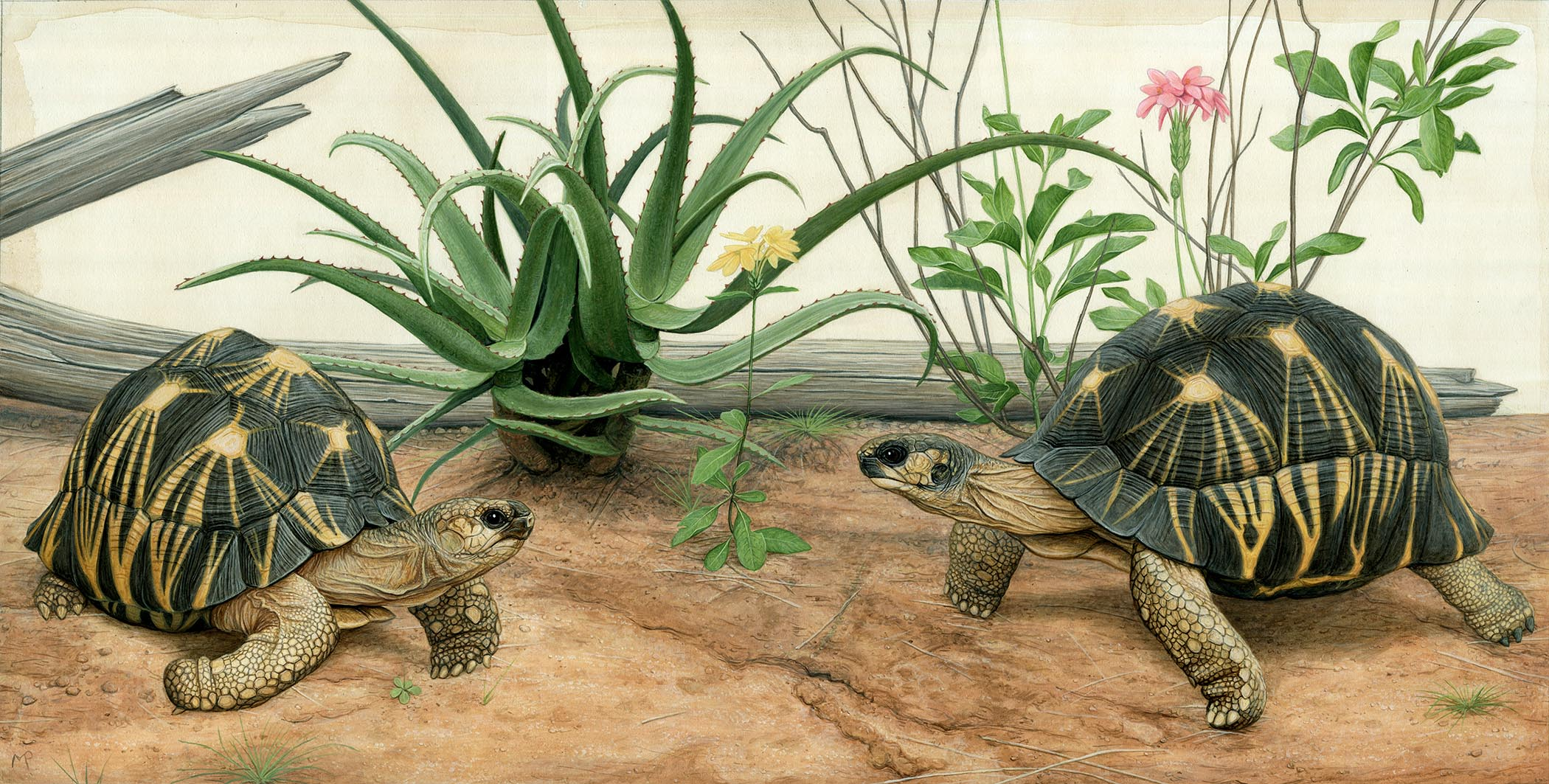 Link to print below.   https://www.etsy.com/listing/719419013/radiated-tortoises-20-x-10-inch-limited?ref=shop_home_active_1&crt=1   I now have a limited edition print of my new radiated tortoise painting available. There are only 100 of these prints available, each one is numbered and signed by me. ALL PROCEEDS from this print will be donated to the Turtle Survival Alliance (TSA). If any of you are willing to share or re-post this I would greatly appreciate it! There is a link to my Etsy where you can purchase the print below.   Earlier this year I had the opportunity to travel to Madagascar and see these amazing animals in the wild. This painting is inspired by the tortoises and plants I saw while there. I was able to visit TSA's Tortoise Conservation Center and also participate with Josh Lucas on his radiated survey in the field. It was an incredible experience being in the spiny forest and seeing these tortoises in their habitat.   The work that TSA and others are doing is so important to the survival of these critically endangered animals in the wild. In the 90's there was an estimated 12 million radiated tortoises in the wild. In 2013 the number was estimated to only be 6 million. Today that number has been cut in half again and there are only 3 million radiated tortoises estimated in the wild. Just think what that number will be in a couple more years if nothing is done. Just last April a house was discovered in southern Madagascar with over 10,000 radiated tortoises that had illegally been taken from the wild. Six months later another house was discovered with 7,000 tortoises. The Turtle Survival Alliance along with other conservation organizations are working to help protect this species. Success depends on many things, one is building partnerships with local communities and being able to educate and foster an interest with them to protect the wildlife they live with.   All you have to do is buy a print to help contribute to this cause. PLEASE share this po