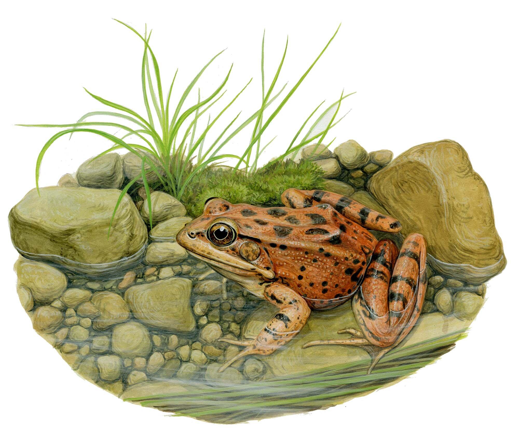 California Red-Legged Frog