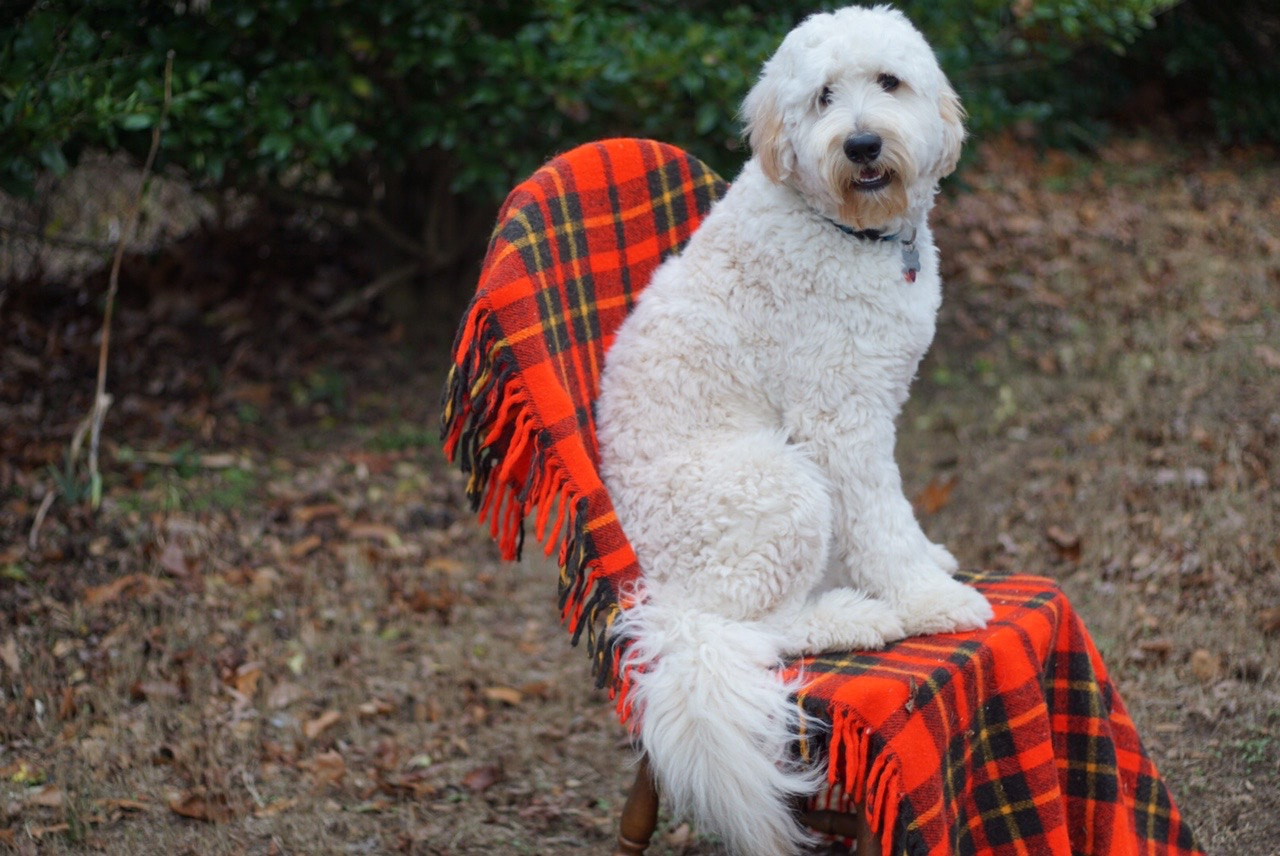 River Falls Greyton Multifgeneration English Teddy Bear. We call Grady the gentlemen. He is such a kind sweet boy. For information on stud service contact riverfallsgoldendoodles.com. Fully health tested, ic clear. -/- for curl. Tested for no shed!! His puppies have amazing coats!