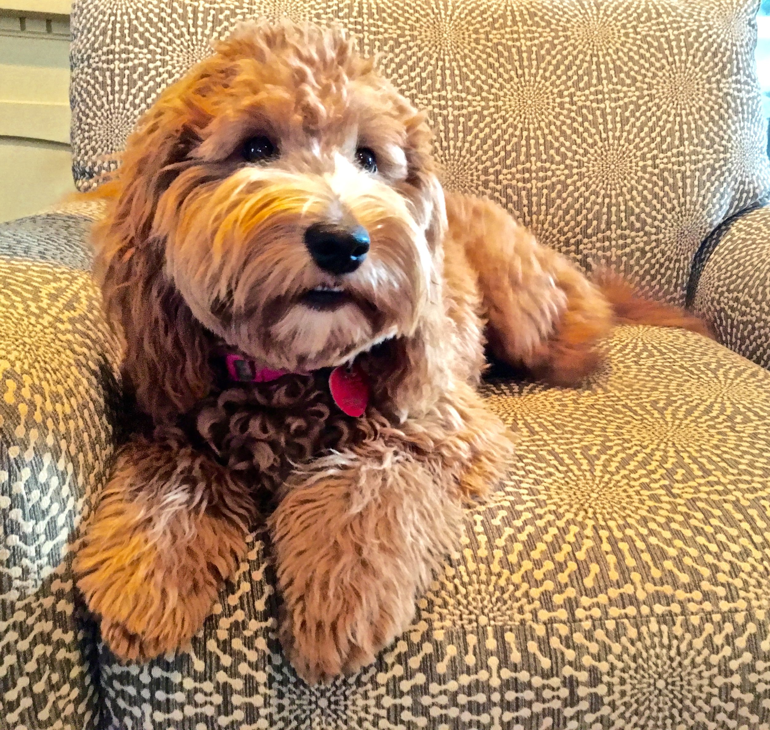 Piper is a petite mini English Goldendoodle. Non-shedding, soft wavy hair and a cute loving personality. Around 20 pounds. Hope to breed . for her second litter in Winter of 2019. Her coat is a rare -/- , (wavy no curl) non shedding, and ic clear.